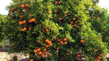 Naranjas Online 18