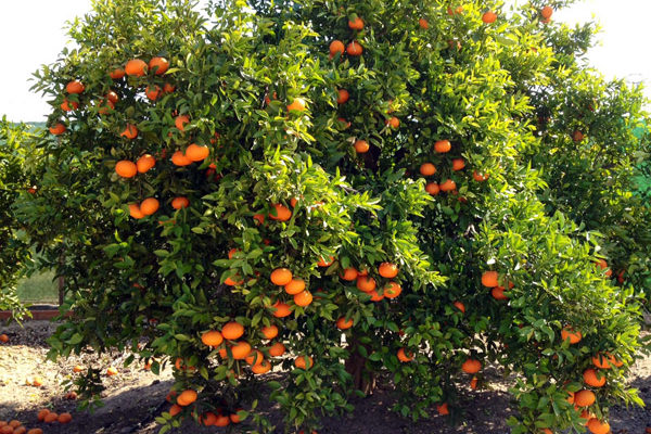 Naranjas Online 1